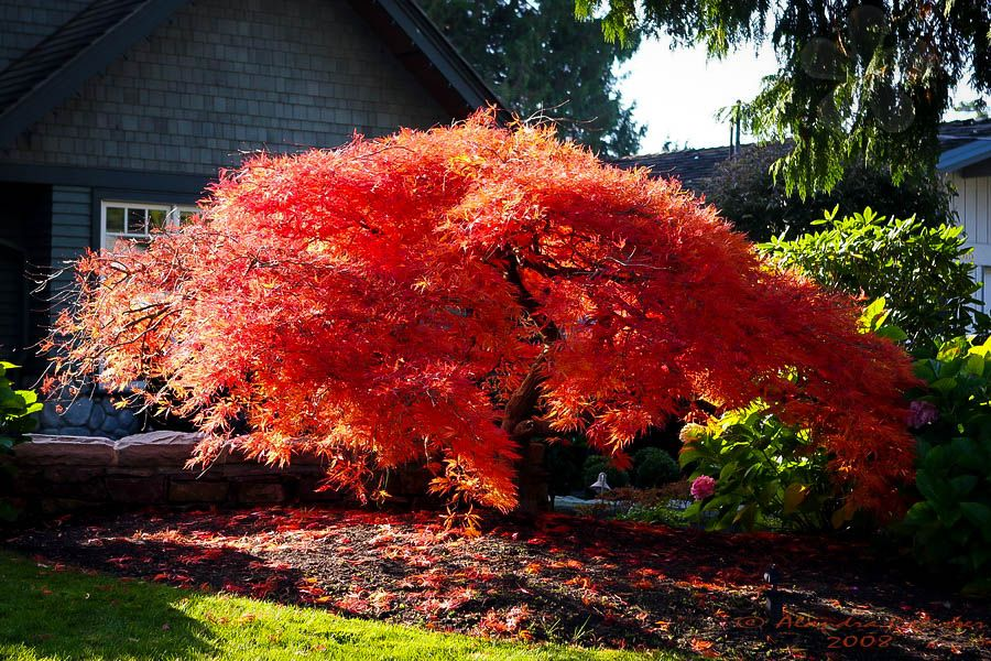 Orangeola Japanese Maple #japanesemaple