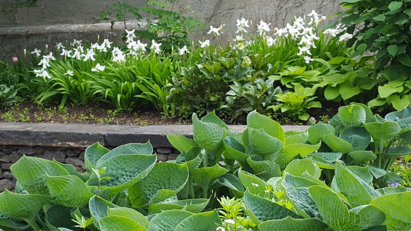 Japanese Roof Iris Aka Iris Tectorum Alba Offer A Fleeting Show Of Butterfly Like Flowers In Part Shade Wolf Park Plants Flowers