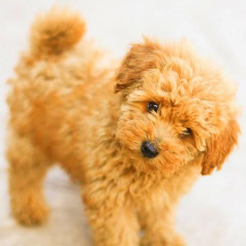 Apricot Miniature Poodle Akc And Ukc Poodles California