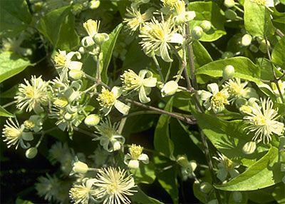 Bach Remedy Plants Bach Flowers Bach Flower Remedies Bach Remedy