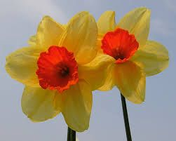Imagen de http://wallpaperstock.net/special-daffodils-wallpapers_5460_1280x1024.jpg.