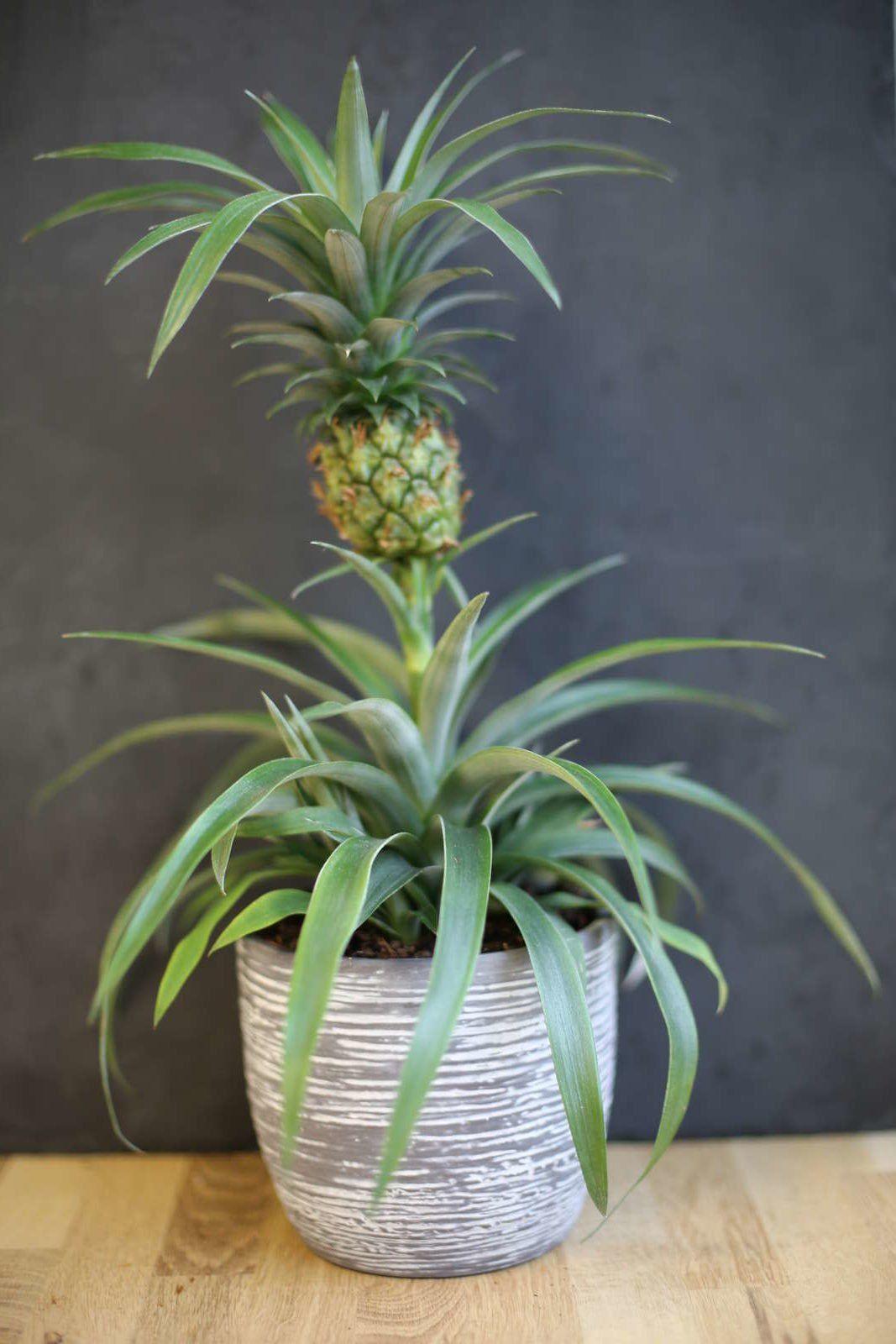 Ananas Anpflanzen Vermehrung Anbau Anleitung Pflanzen