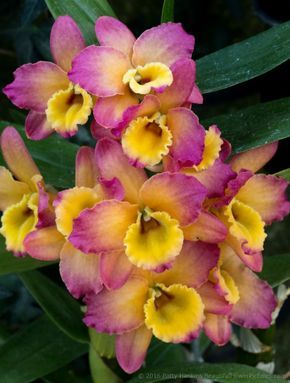 Photo of A Few Dendrobium Orchids