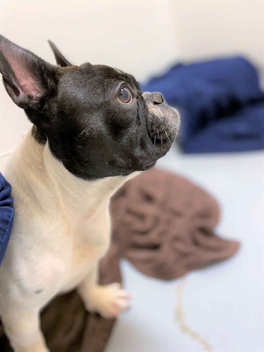 Adopt Indy on French bulldog, French bulldog mix, Pet