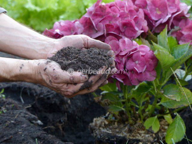 Comment bien planter un hortensia ? Trou de plantation, apport de compost, acidification d'un sol calcaire : tous nos conseils pour la plantation des hydrangea.