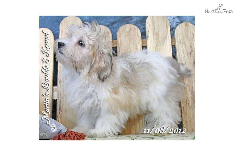 Coton De Tulear Puppy For Sale Simon Male Coton Poo 23cdbab0 1e71