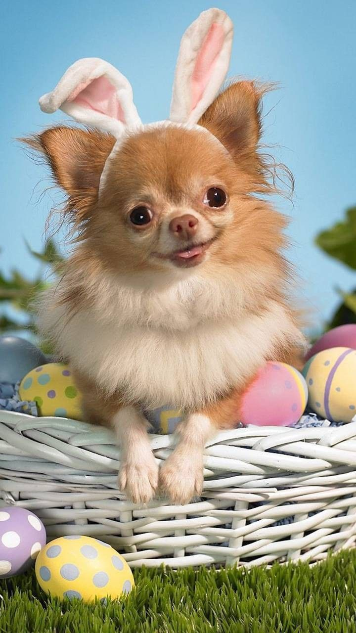 Pin by hanna smith on phone wallpaper pinterest dogs chihuahua