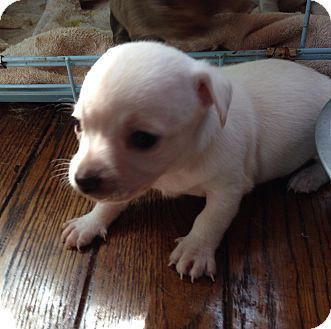 Charlotte Nc Chihuahua Rat Terrier Mix Meet Firefly A Puppy