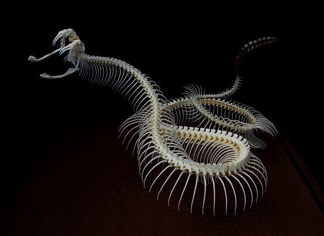 Western Diamondback Rattlesnake | Animal anatomy | Pinterest ...