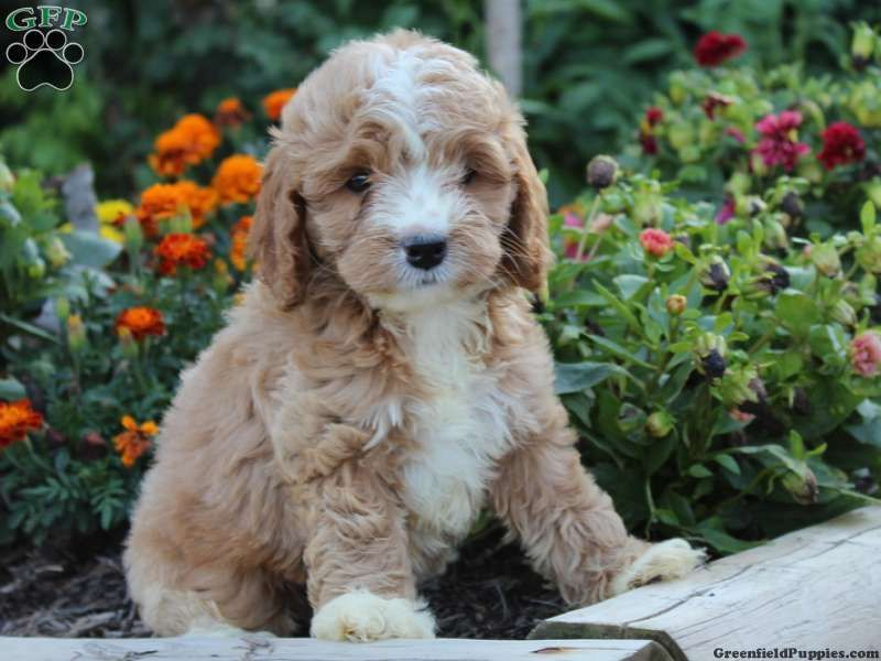 Benny Cockapoo Puppy For Sale In Lewisburg Pa Cockapoo Puppies