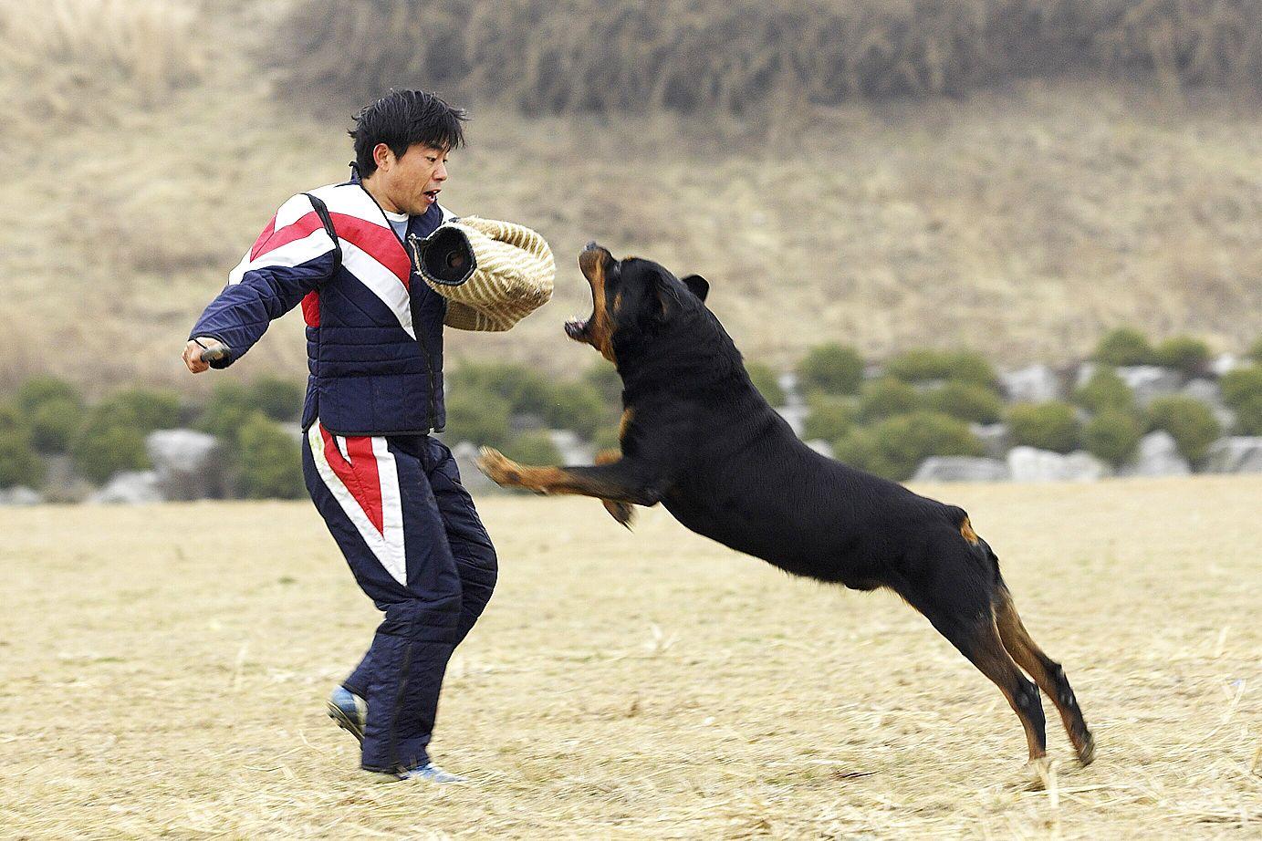 Rottweiler Training – Schutzhund and More