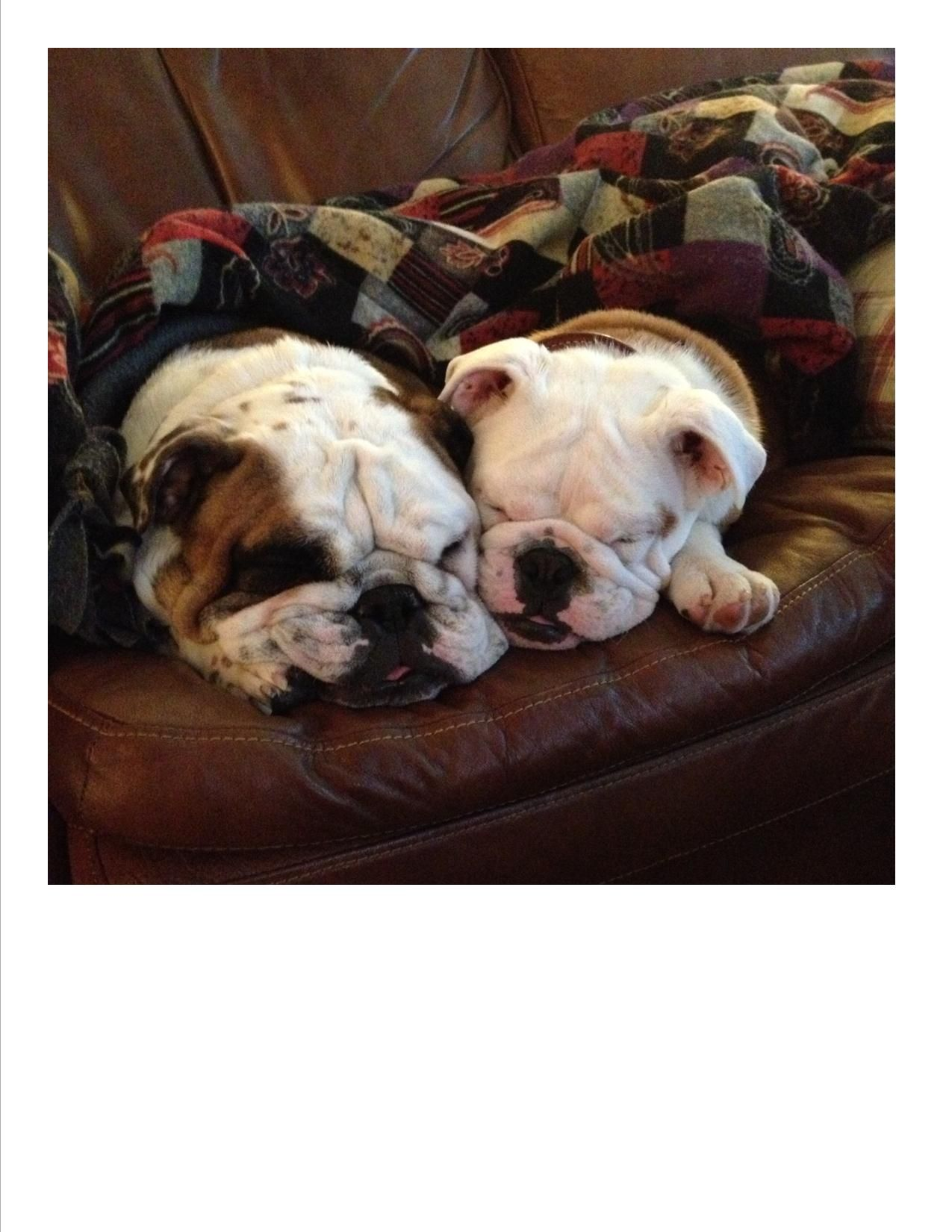 Winston And Chester Snuggle Buddies Bulldogs Snuggles Dogs