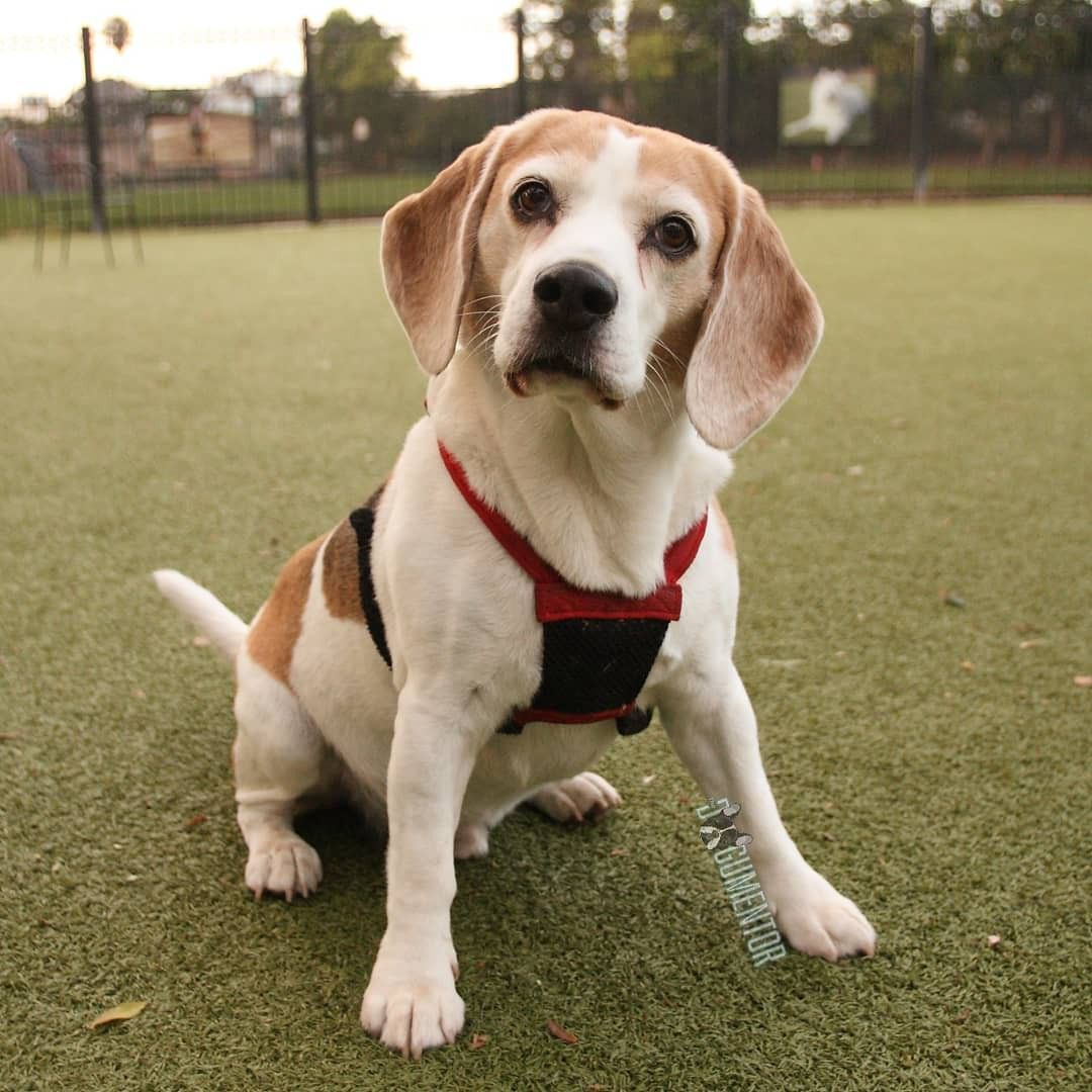 Napoleon Beagle 2 Y O Little Italy Dog Park His Nickname