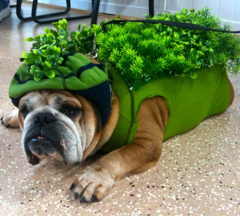 chia pet bully at detroit bulldog rescue halloween party with theconsort bulldogs - Detroit Halloween Parties