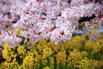 満開の桜と菜の花につつまれた京都山科疏水