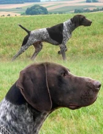 Perro de caza Kurzhaar. Carácter y comportamiento