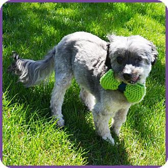 Excelsior Mn Shih Tzu Poodle Miniature Mix Meet Sweetie Ii A