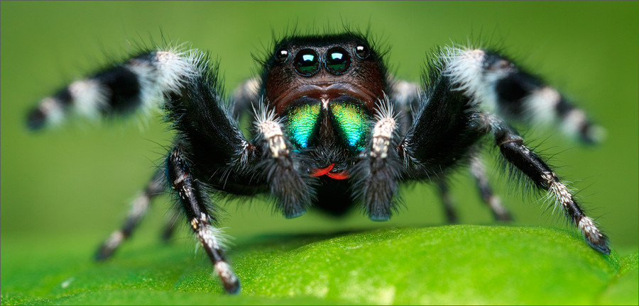 Bold Jumper Phidippus audax (adult male) by Patrick Zephyr