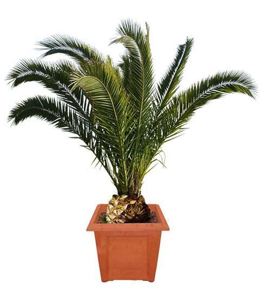 plante exotique phoenix