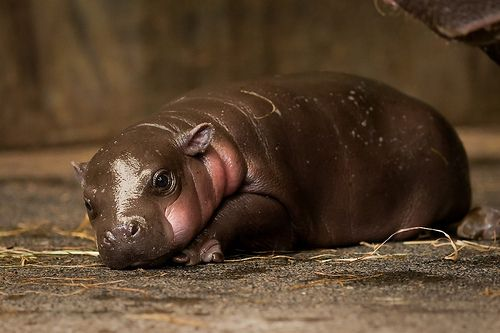 Plump Pygmy Hippo Calf Daydreaming