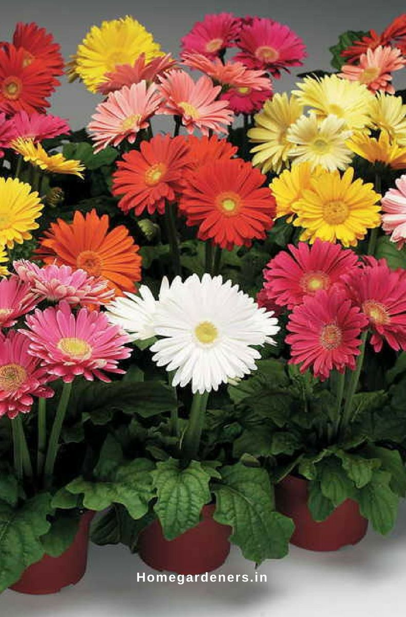 Gerbera Daisy Guide The Only Gerbera Daisy Resources You Will
