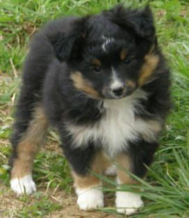 Pin By Shelley Richards On For The Dogs Aussie Puppies Toy Australian Shepherd Australian Shepherd