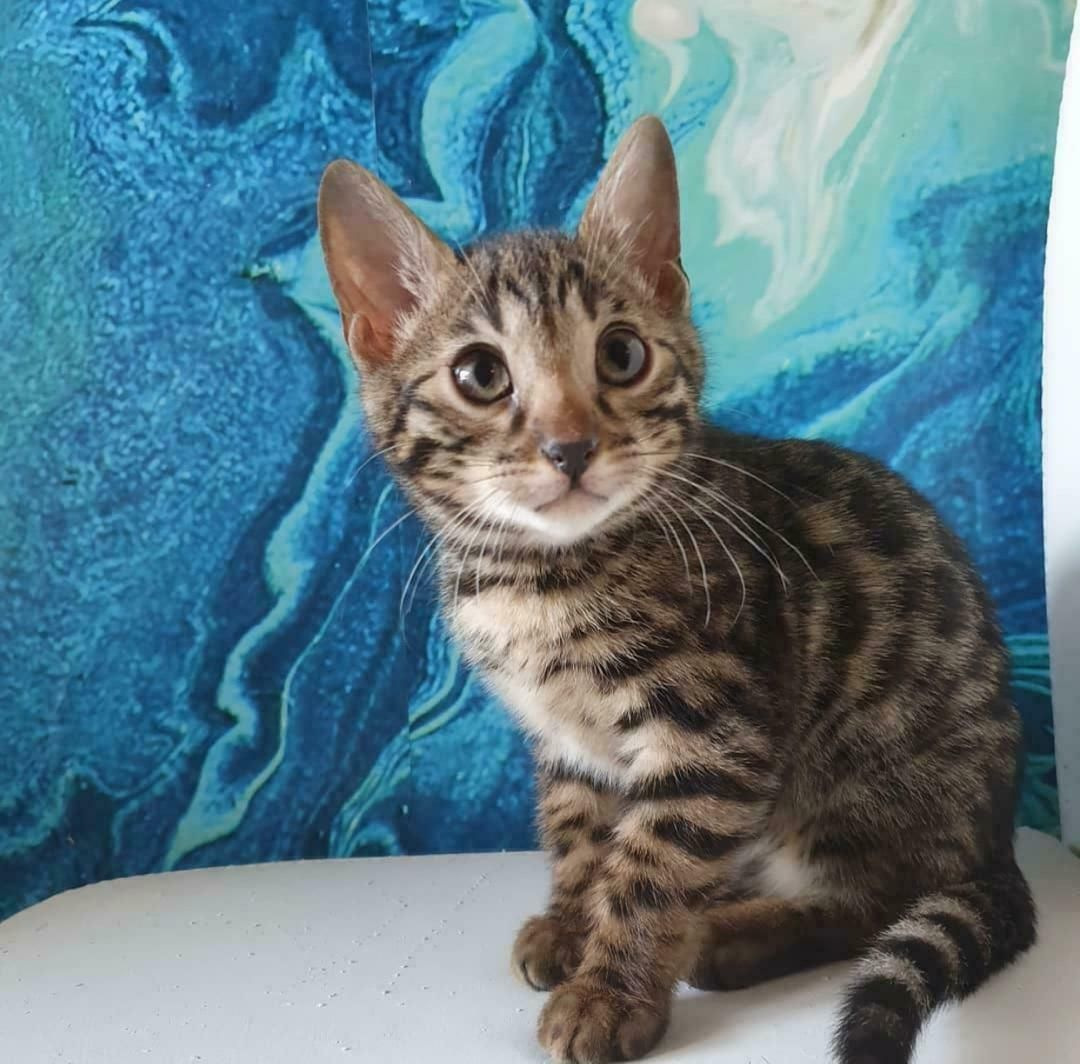 Available kittens in 2020 bengal kittens for sale