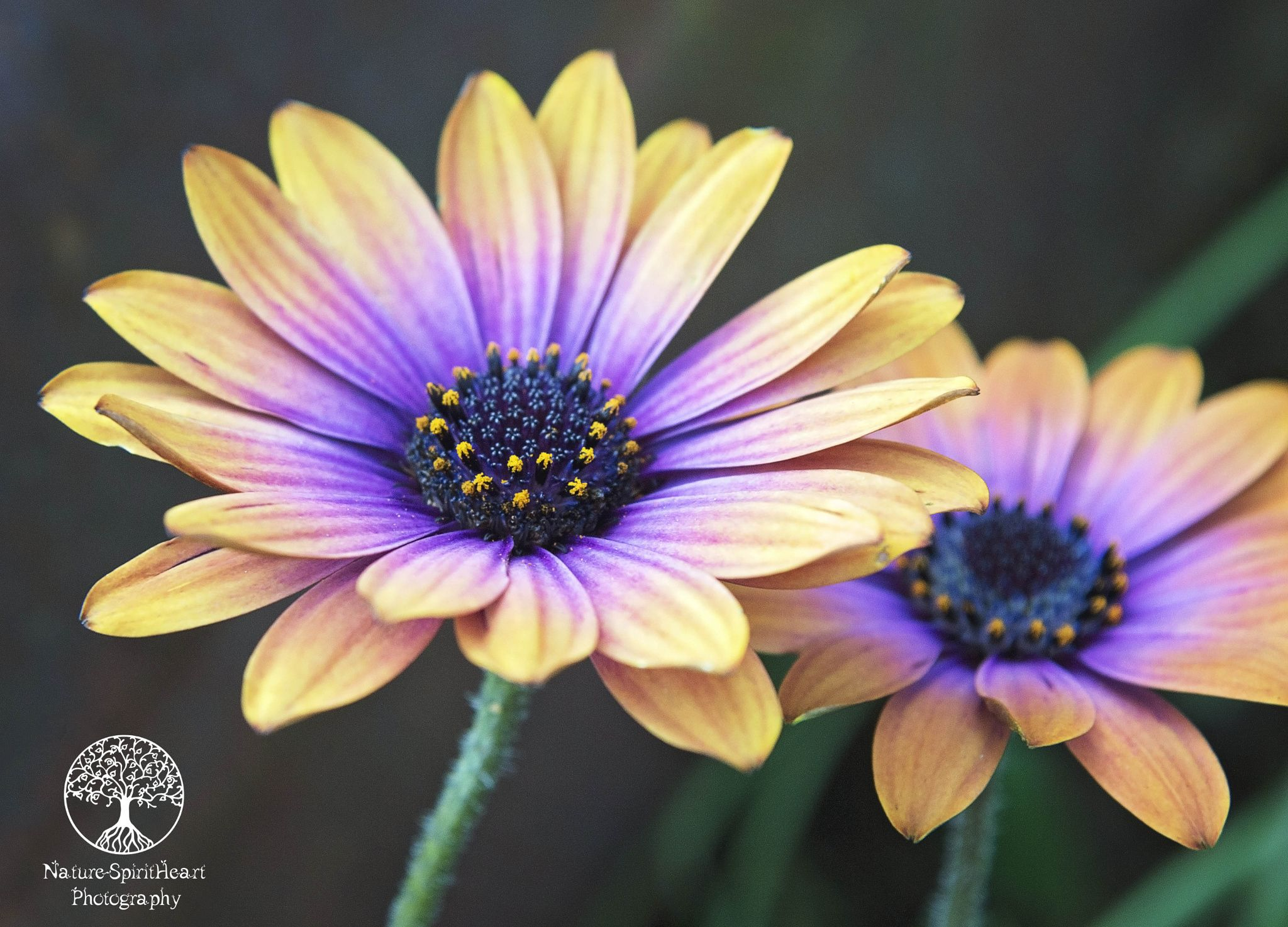 Osteospermum by Sally Campbell Clark on 500px