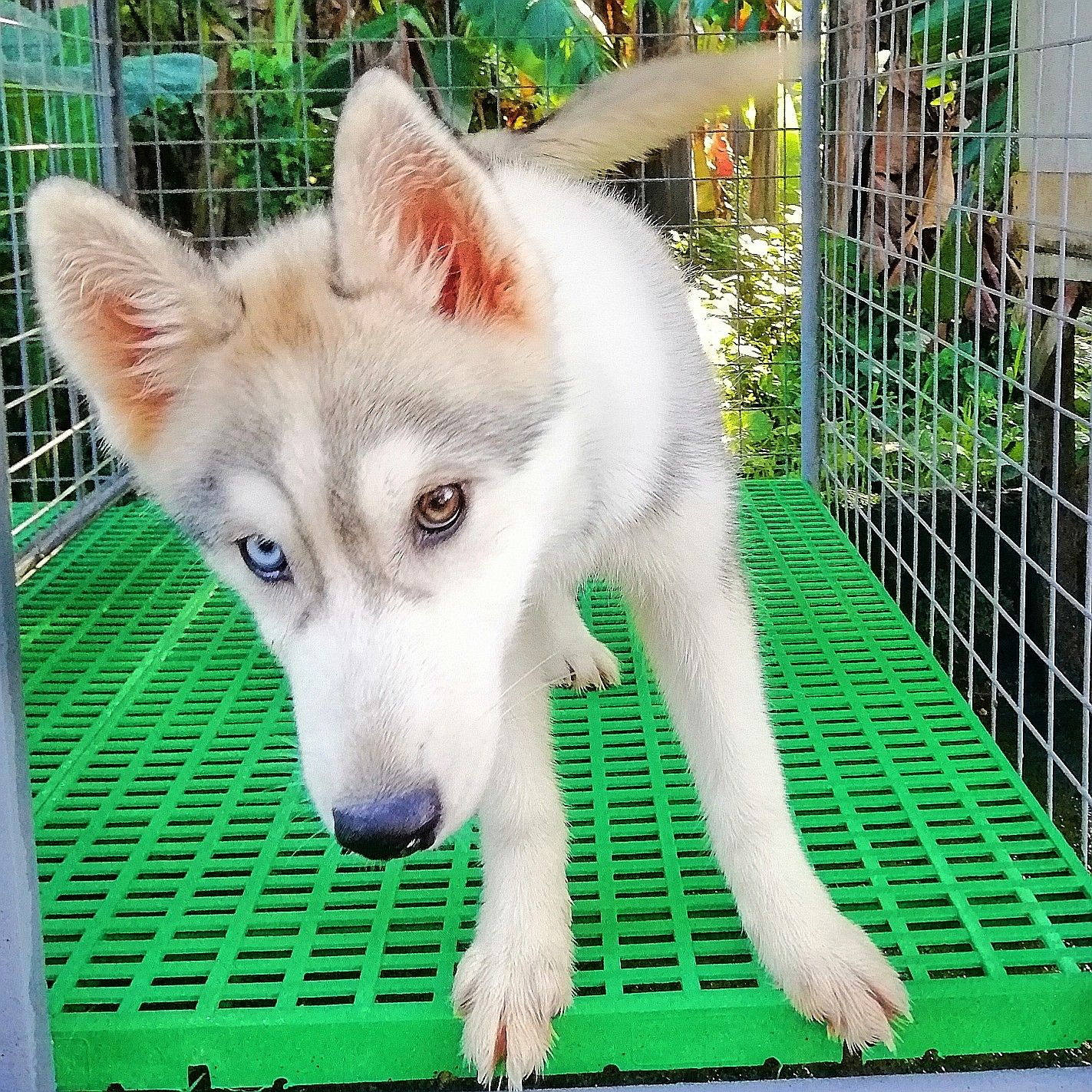 Bieye Gray Husky Puppy Husky Husky Puppy Puppies