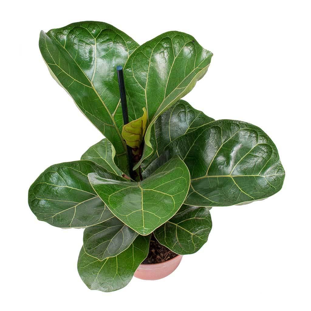 Ficus lyrata Bambino Dwarf Fiddle Leaf Fig Ficus