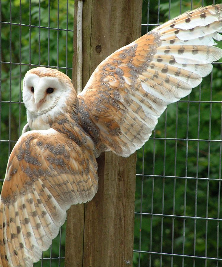 Most Beautiful White Owls Sandy My Adopted Barn Owl At