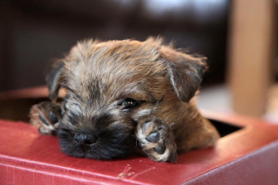 Pin By Jane On Gatos E Cachorros Cairn Terrier Puppies Border