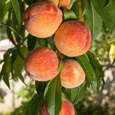 Contender Peach Tree | gardening | Growing tree, Peach trees