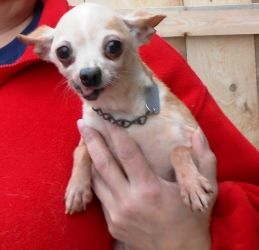 Adopt Lilly On Chihuahua Dogs Japanese Dogs Chihuahua