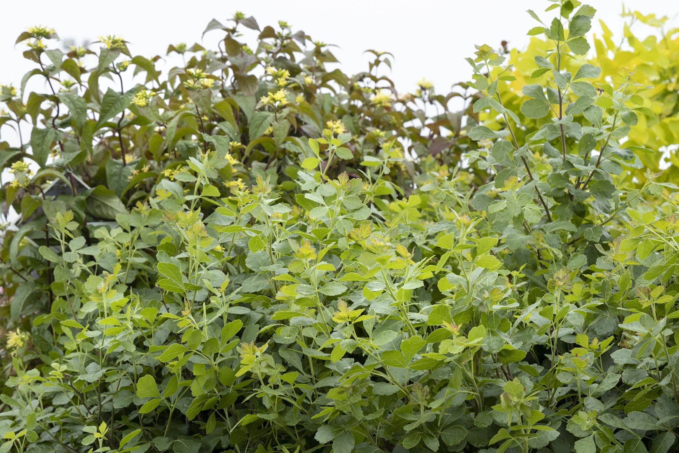 Gro-Low Fragrant Sumac - Monrovia - Gro-Low Fragrant Sumac
