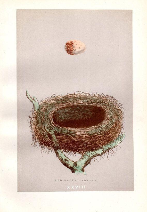 1892 Antique Nest & Egg Print Morris Nest by AntiquePrintGallery