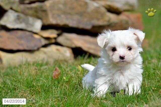 Maltese Puppy For Sale In Ohio Maltese Puppies For Sale Maltese