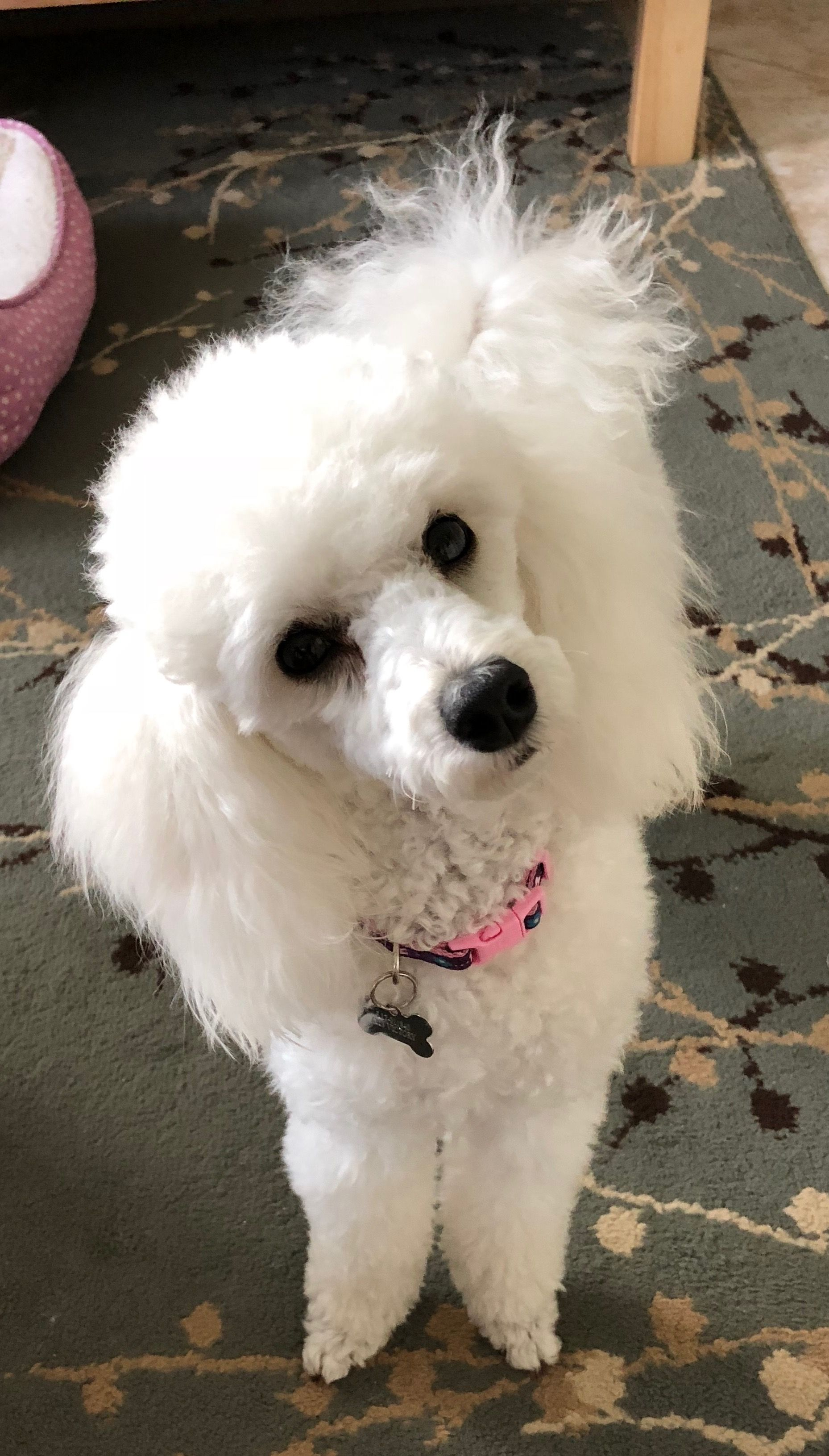 Pin By Gene N Mary Jacobs On Tres Jolie Joins The Family Poodle Puppies For Sale Cute Animals Poodle Puppy