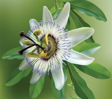 White Crown Passion Flower Planted Beside Walkway Raised Garden Passion Flower Passion Flower Plant Flower Names