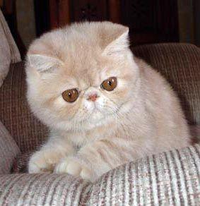 gatos exoticos de pelo corto - Buscar con Google