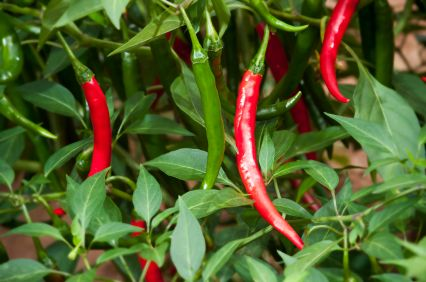 How To Grow Chili Peppers Medicinal Herbs Garden Garden 640 x 480
