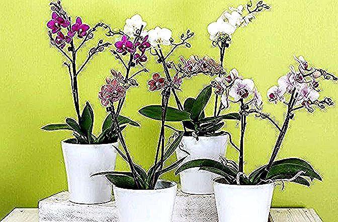 Gambar Bunga Anggrek Warna Pink Info Seputar Bunga Anggrek