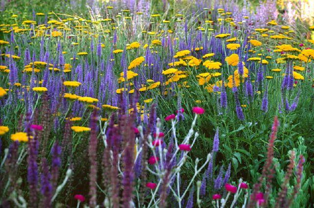 Achillea filipendulina 'Coronation Gold', Lychnis sp and Salvia nemerosa 'Primavera' (wild sage) at Hermannshof Show and Trial Garden, Weinh...