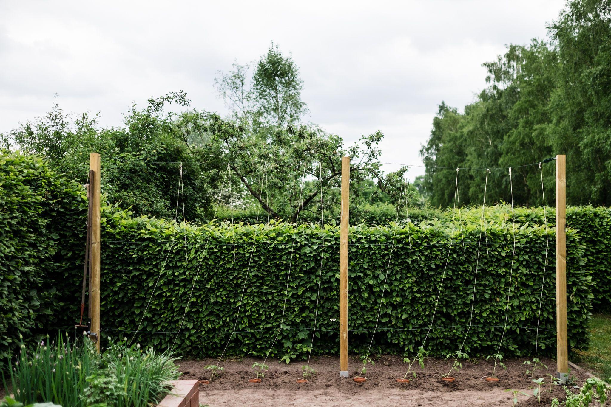 Tomaten Vermehren Pflegen Ernten Teil 5 Auspflanzen Und Rankhilfe Diy Osmers Garten Tomaten Pflanzen Garten Pflanzen Pflanzen