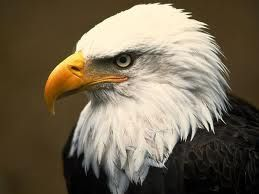 yesterday i saw a bald eagle flying over my yard all of