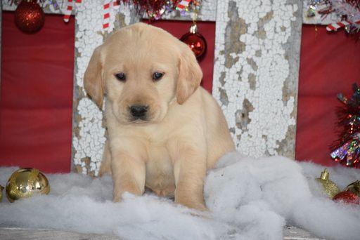 Golden Labrador Puppy For Sale In Fredericksburg Oh Adn 56327 On Puppyfinder Com Gender Mal Golden Labrador Puppies Labrador Puppies For Sale Labrador Puppy