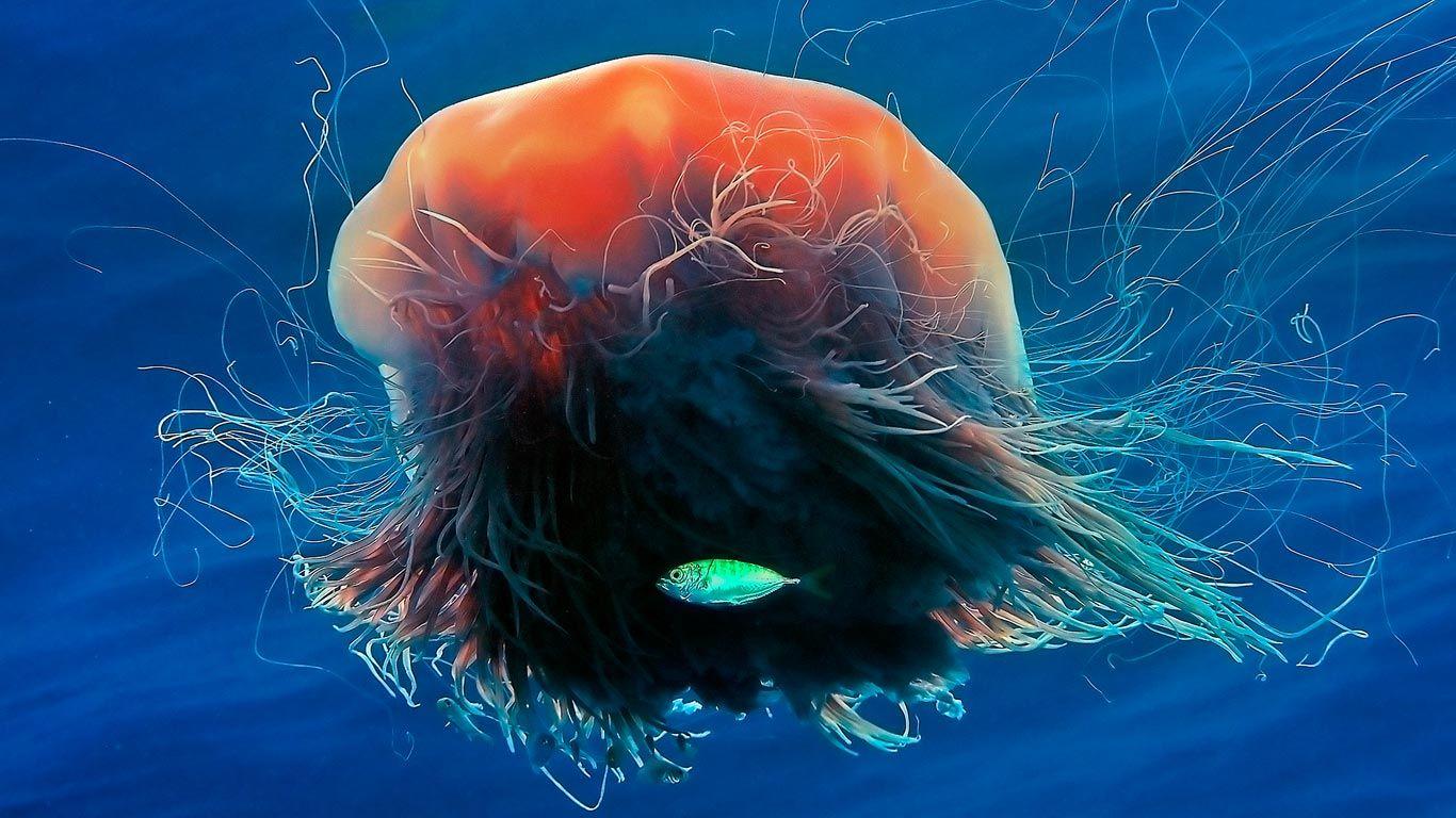 lion u0027s mane jellyfish national geographic bing wallpaper gallery