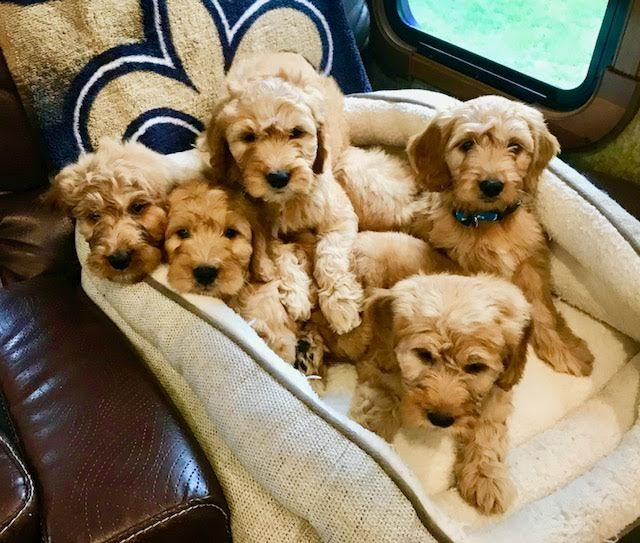 Golden Doodle Mix Puppy For Sale In Frederick Md Adn 47672 On