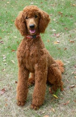 Poodle red ears