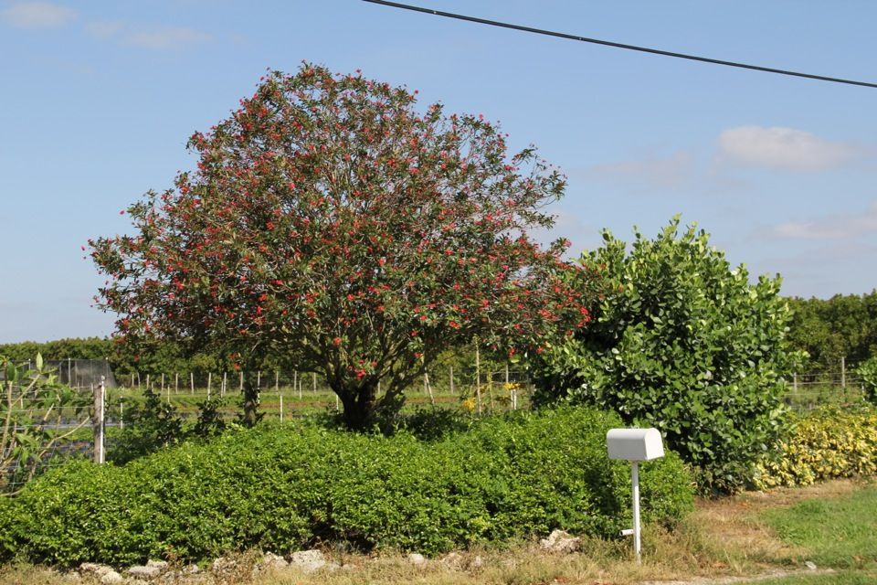 Jatropha integerrima (Peregrina), flowering season: most of the year, flowers: red. This is a small tree reaching a height of 15 feet. Peregrina has no serious pest or disease problems. Available at TreeWorld Wholesale.